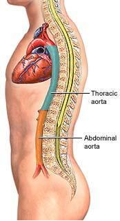 The Aortic Anatomical Segments from Thoracic to Abdominal and Pelvic