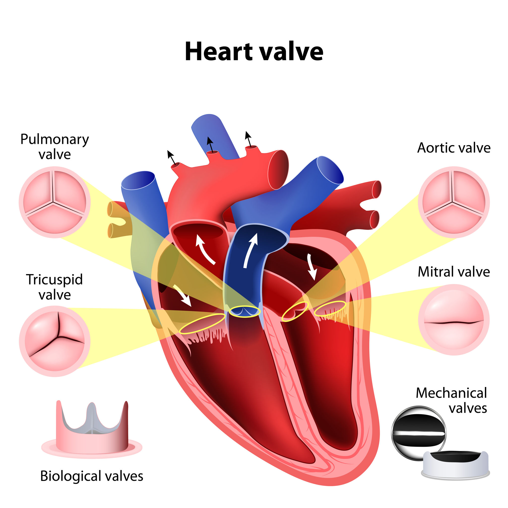 Anatomy of Heart Valves