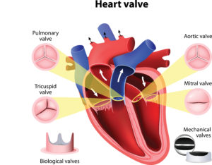 hearts structure